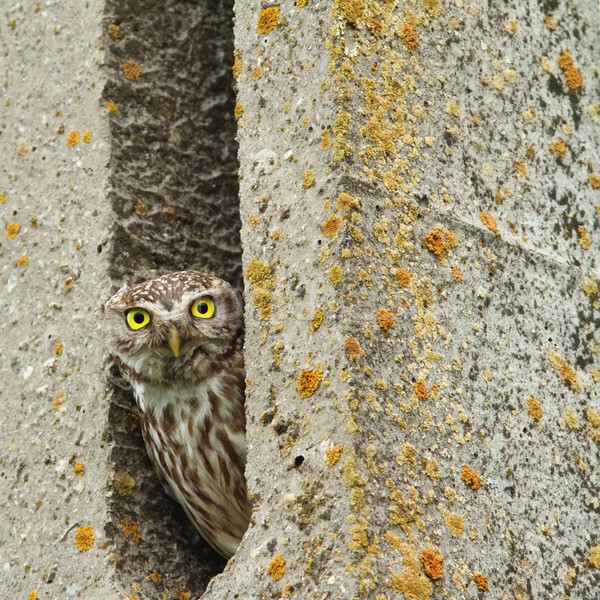little owl hiding in cement pillar Stock photo © taviphoto