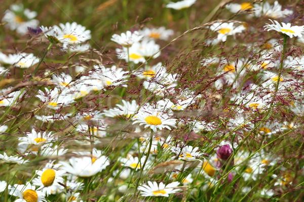 Сток-фото: Ромашки · горные · луговой · весны · фон