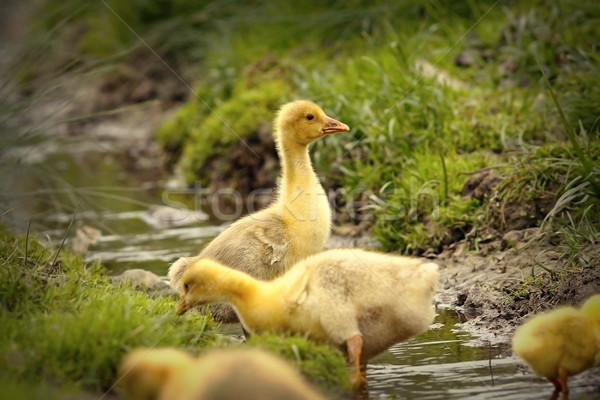 Sevimli sarı oynama küçük gölet çiftlik Stok fotoğraf © taviphoto
