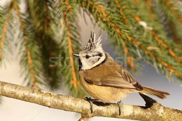 Тит профиль мнение веточка фон птица Сток-фото © taviphoto