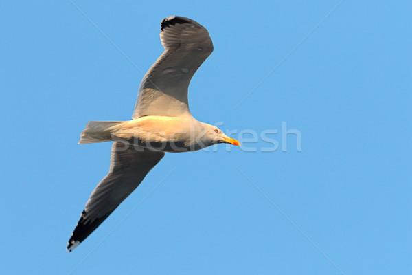 Vlucht blauwe hemel natuur oceaan vogel Stockfoto © taviphoto