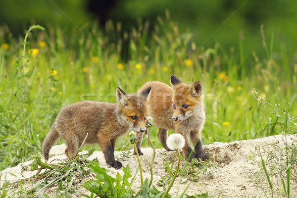 red fox siblings Stock photo © taviphoto