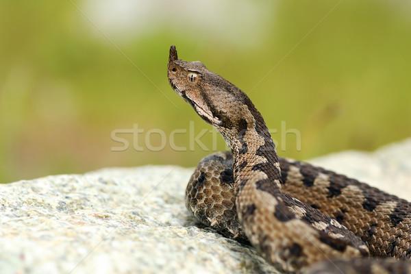 aggressive male nose horned viper Stock photo © taviphoto