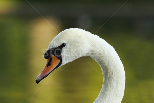 Primer plano hermosa silenciar cisne primavera naturaleza Foto stock © taviphoto