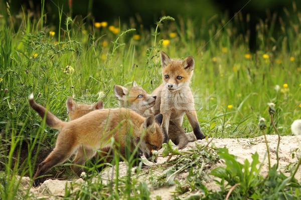 可愛 狐狸 兄弟 播放 家庭 面對 商業照片 © taviphoto