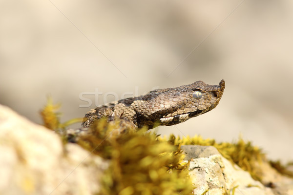 nose horned viper closeup of headnose horned viper closeup of head Stock photo © taviphoto