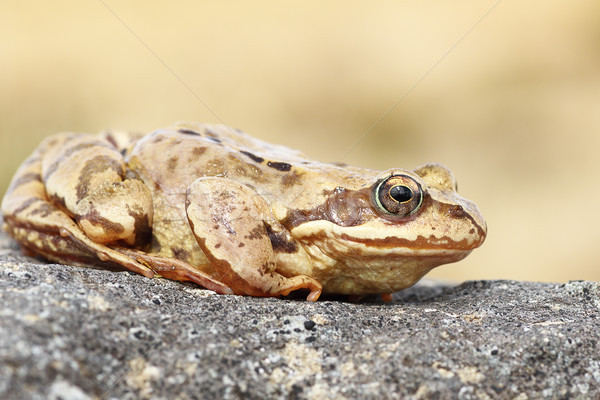 profile view of common brown frog Stock photo © taviphoto