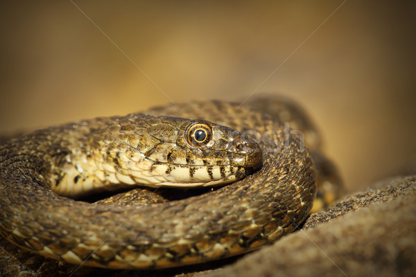 closeup of dice snake Stock photo © taviphoto