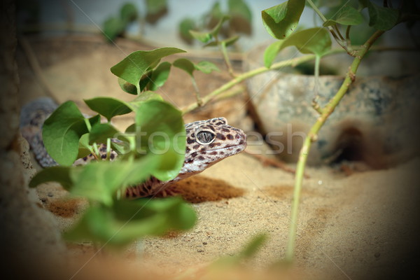 Leopard lézard cacher nature vert tropicales Photo stock © taviphoto