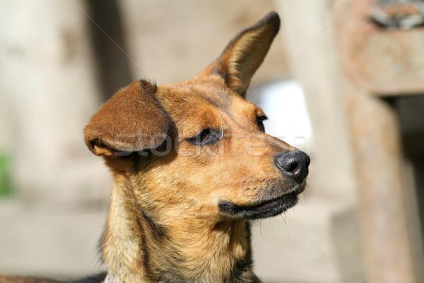Cute собака портрет коричневая собака ушки воздуха Сток-фото © taviphoto