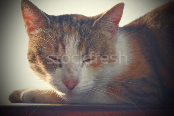 portrait of a domestic cat with vintage effect Stock photo © taviphoto
