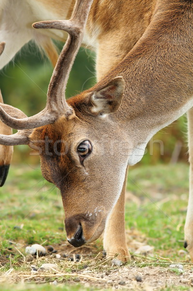 close up of dama buck grazing Stock photo © taviphoto