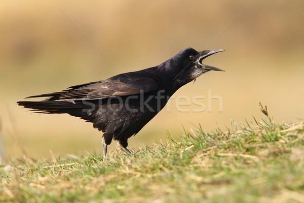黒 カラス 歌 フィールド 草 自然 ストックフォト © taviphoto