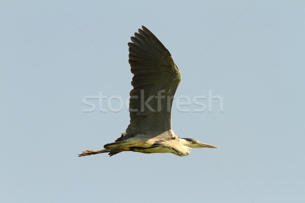 grey heron in flight over sky background  Stock photo © taviphoto