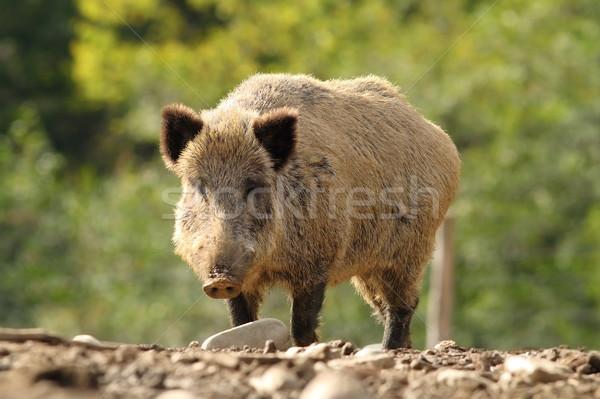Grande javali clareira carne animal Foto stock © taviphoto