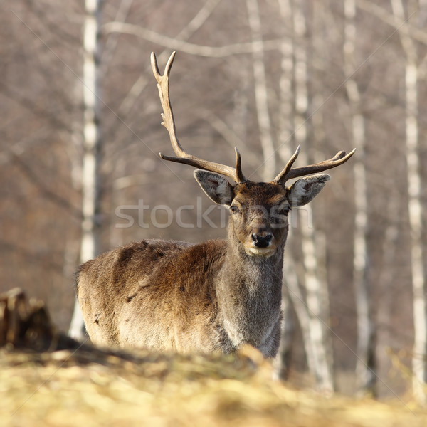 fallow deer buck with broken antler Stock photo © taviphoto