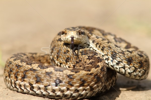 the elusive hungarian  meadow viper Stock photo © taviphoto