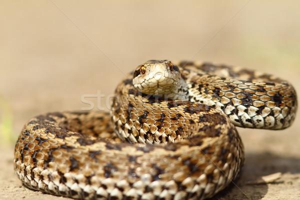 angry european meadow viper Stock photo © taviphoto