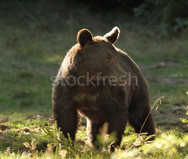 european wild brown bear photographed in a clearing Stock photo © taviphoto