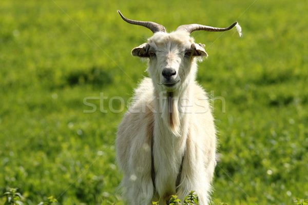 Witte mannelijke geit groene gazon boerderij Stockfoto © taviphoto