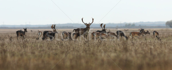 fallow deer large herd Stock photo © taviphoto