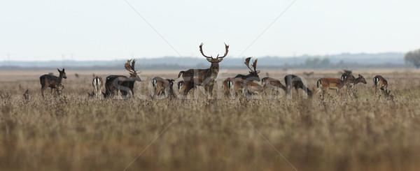 鹿 群れ ビッグ バック 美しい ストックフォト © taviphoto