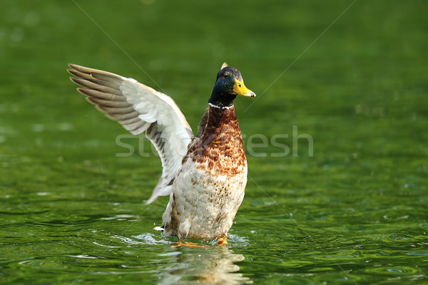 mallard duck spreading wings on pond Stock photo © taviphoto