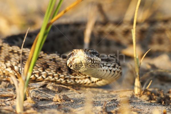 çayır doğal yetişme ortamı portre doğa yılan Stok fotoğraf © taviphoto
