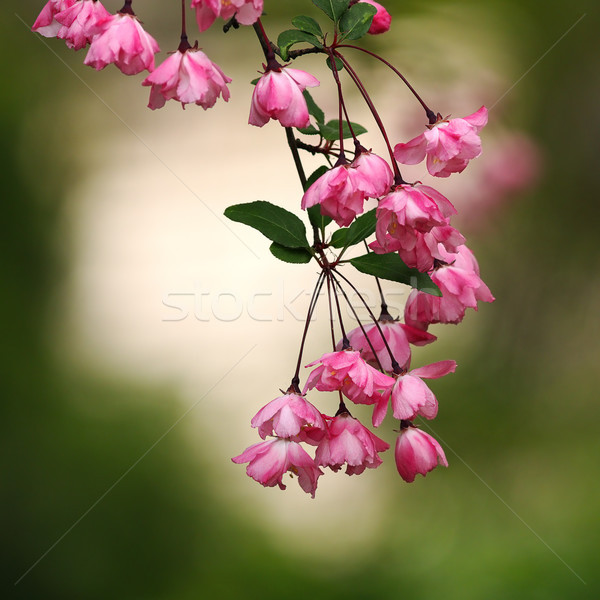 розовый Японский Вишневое цветы зеленый из Сток-фото © taviphoto