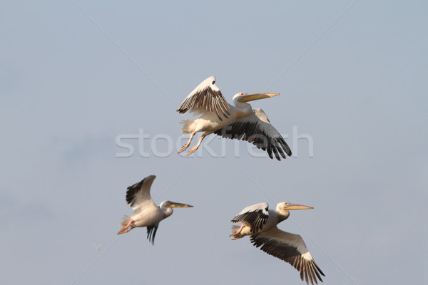 beautiful birds in flight Stock photo © taviphoto