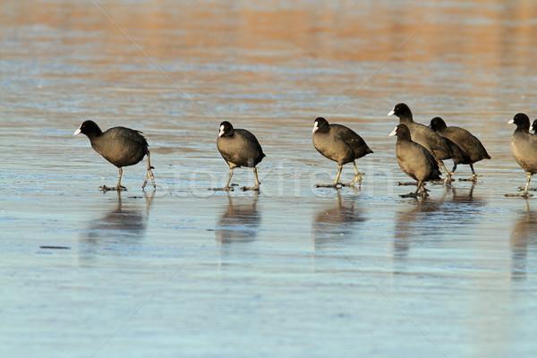 common coots walking on ice Stock photo © taviphoto