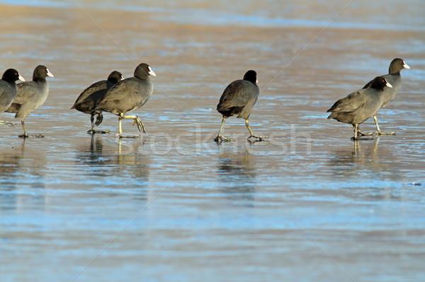 birds walking on frozen lake Stock photo © taviphoto