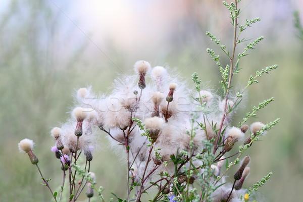 Kwiaty lata rozwój naturalnych łące kwiat Zdjęcia stock © taviphoto