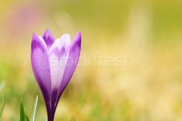 Közelkép tavasz vad kikerics sáfrány gyönyörű Stock fotó © taviphoto