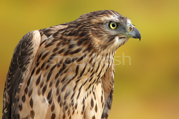 accipiter nisus over out of focus background Stock photo © taviphoto