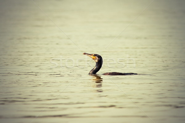 abstract image of great cormorant Stock photo © taviphoto