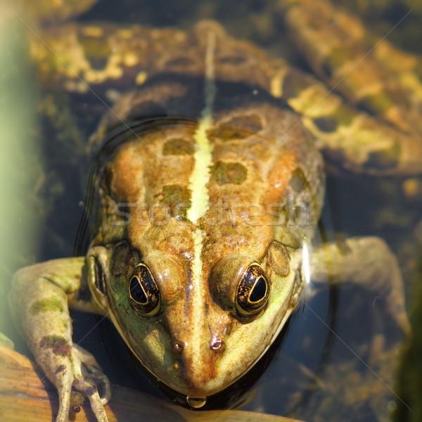 Retrato comestible rana pie agua piscina Foto stock © taviphoto