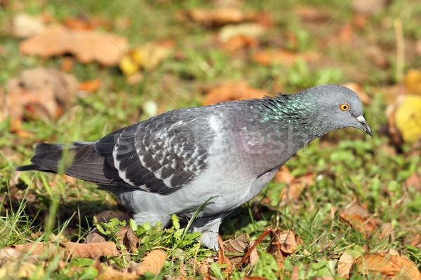 Pigeon automne pelouse jardin bleu Photo stock © taviphoto