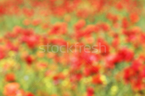 abstract view of red poppies field Stock photo © taviphoto