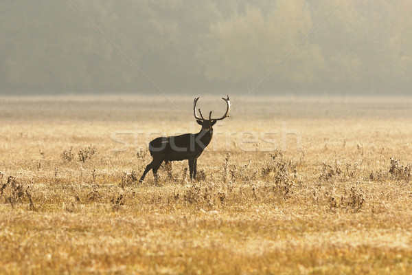 fallow deer stag on meadow in morning light Stock photo © taviphoto