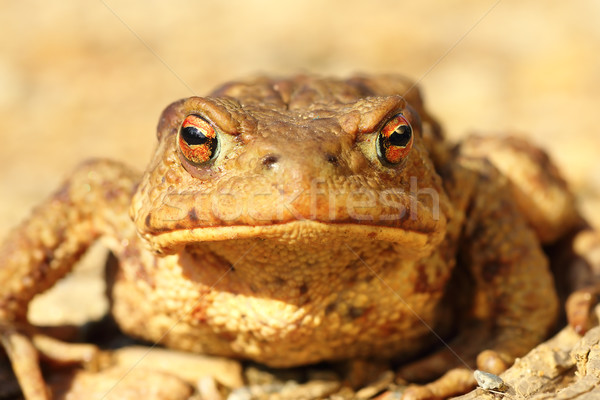 portrait of curious funny brown toad Stock photo © taviphoto