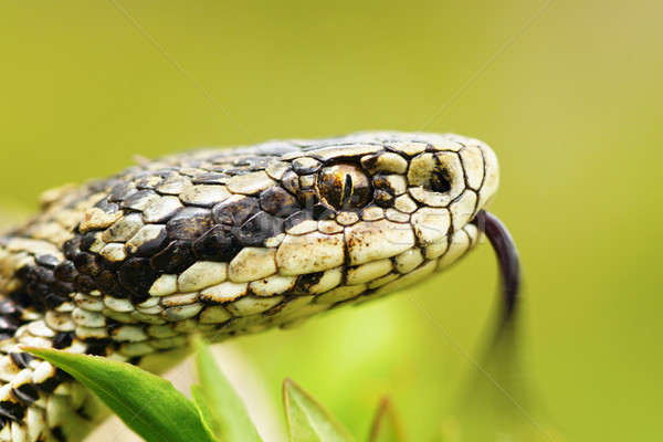 portrait of female Vipera ursinii Stock photo © taviphoto