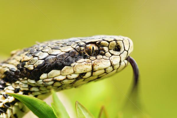 Portré női magyar legelő egy kígyók Stock fotó © taviphoto