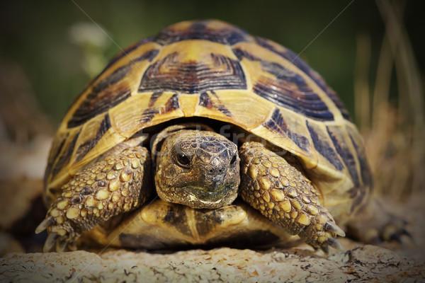 portrait of hermann turtoise Stock photo © taviphoto