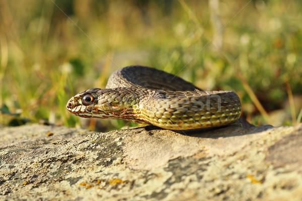 full length view of eastern montpellier snake Stock photo © taviphoto