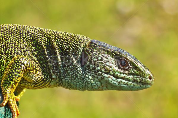 Yandan görünüş yeşil kertenkele kafa doku güzellik Stok fotoğraf © taviphoto