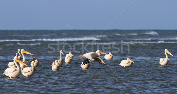 great pelicans standing in shallow water Stock photo © taviphoto