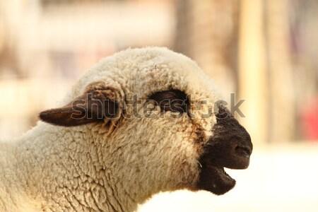 Vista lateral blanco cordero peludo cabeza naturaleza Foto stock © taviphoto