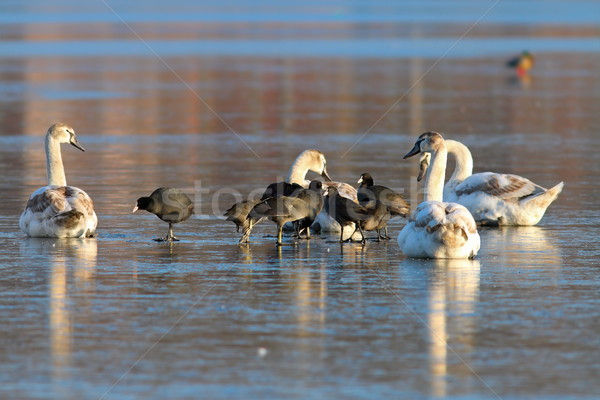 mute swans and black coots Stock photo © taviphoto