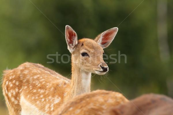 Yeşil geyik orman arka plan güzellik yaz Stok fotoğraf © taviphoto